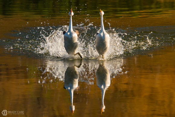 Rushing - Western Grebes