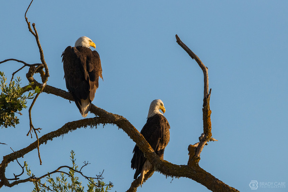 Bald Eagle Couple - Golden Light