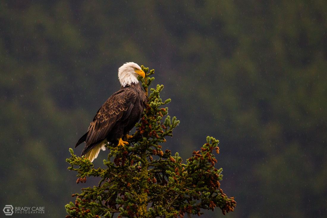 Eagle in the Rain