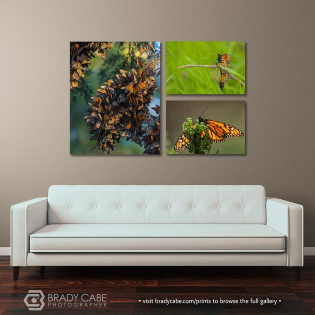 3 canvas-monarch